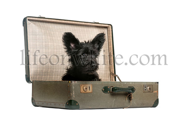 Skye Terrier puppy sitting in a suitcase  in front of a white background