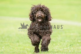 large dark brown doodle running towards camera