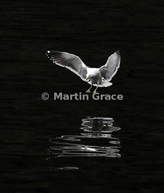 Southern Black-Backed Gull (Larus dominicanus dominicanus) with reflection about to land on the surface of Doubtful Sound, Fi...