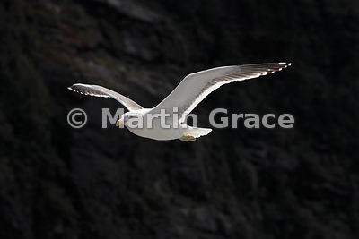 Southern Black-Backed Gull (Larus dominicanus dominicanus) in flight, Doubtful Sound, Fiordland National Park, South Island, ...
