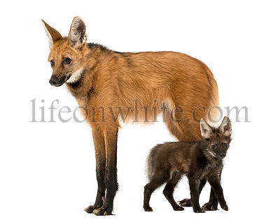 Side view of a Maned Wolf mom and cub standing, Chrysocyon brachyurus, isolated on white