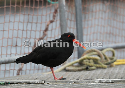 Dark morph Variable Oystercatcher (Black Oystercatcher) (Haematopus unicolor) resting while standing on one leg on a salmon c...