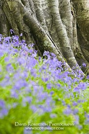 Image - Hyacinthoides non-scripta, Bluebells at the bole of a tree