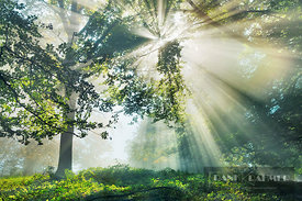 Sunbeams in mist in beech forest - Europe, Germany, Bavaria, Upper Bavaria, Starnberg, Herrsching am Ammersee, Erling - Fisch...
