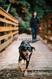 A large black and tan dog walks over a bridge with his mom behind him