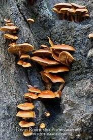 Image - Fungi, possible Velvet Shank, Flammulina velutipes, on dead tree trunk, Glen Affric, Inverness, Highland, Scotland