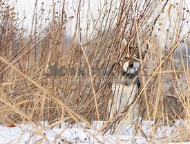 An Alaskan klee kai hidden in some grasses