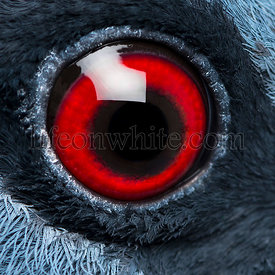Close up of Victoria Crowned Pigeon\'s eye - Goura victoria