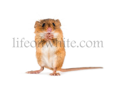 Eurasian harvest mouse, Micromys minutus, grooming in front of white background
