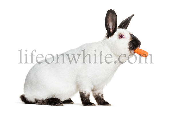 Russian rabbit holding carrot in mouth against white background