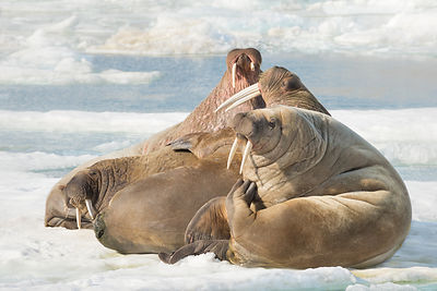 Walruses On Ice