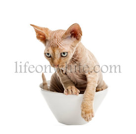 Devon rex getting out of bowl isolated on white