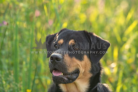 headshot of rottweiler mix in tall grass