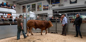 Farmer selling limousin bull at an auction mart, Cumbria, UK