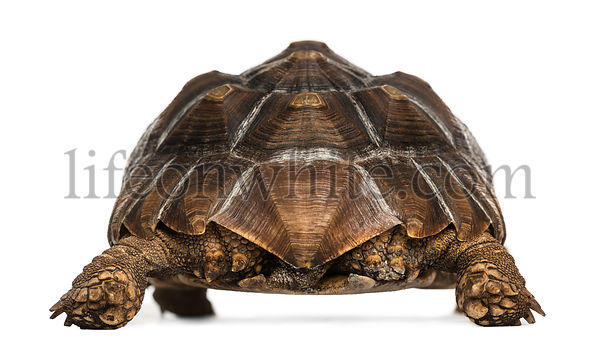 Rear view of an African Spurred Tortoise standing, Geochelone sulcata, isolated on white