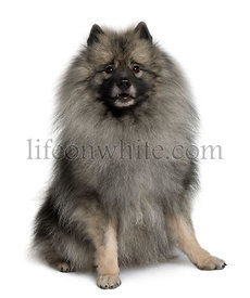 Keeshond dog sitting in front of white background