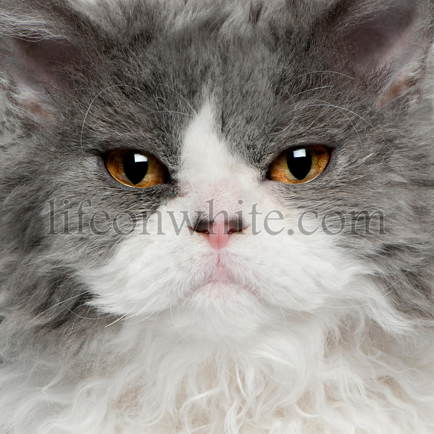 Close-up of Selkirk Rex kitten, 5 months old