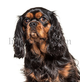 Portrait of a Cavalier king charles spaniel, isolated on white
