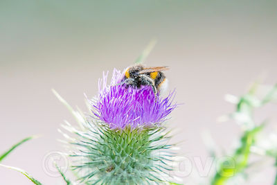 Bumblebee covered with pollen collecting nectar from thistle flower growing on uk field.