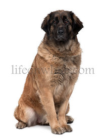 Leonberger dog, 2 years old, sitting in front of white background