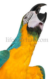 Close-up of Blue-and-Yellow Macaw, Ara ararauna, 16 months old, in front of white background