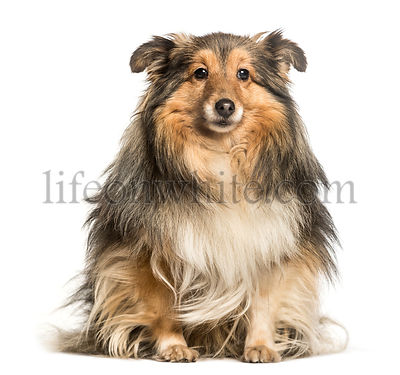 Shetland Sheepdog, Sheltie, sitting against white background