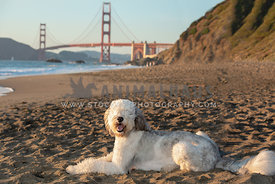 large sheepadoodle laying in sand with Golden Gate Bridge in the background