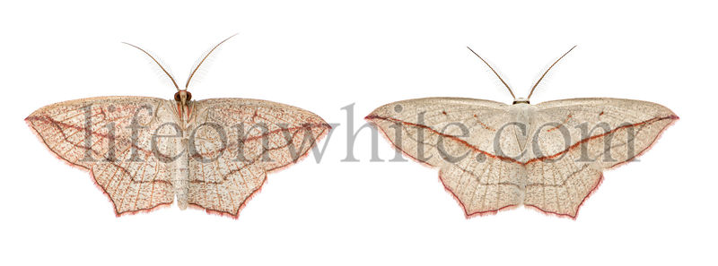 Two blood-vein moths, Timandra comae