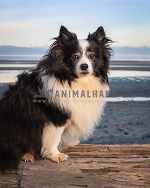 Small fluffy black and white dog sitting on log at the beach