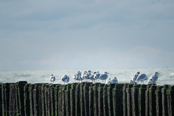 Group of Sea gulls on a breakwater with view over North Sea