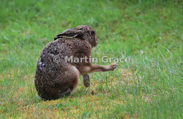 European Brown Hare (Lepus europaeus) grooming and shadow-boxing, Cairngorm National Park, Scotland: Image 7 of a sequence of 13
