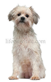 Lowchen or Little Lion, 3 years old, sitting in front of white background