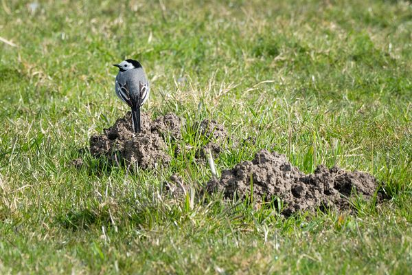White wagtail on a molehill