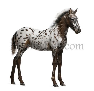 Appazon Foal, 3 months old, a crossbreed between Appaloosa and Friesian horse, standing in front of  white background
