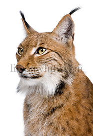 Close-up of Eurasian Lynx, Lynx lynx, 5 years old