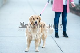 Golden retriever walked by women wearing jeans, boots and pink coat