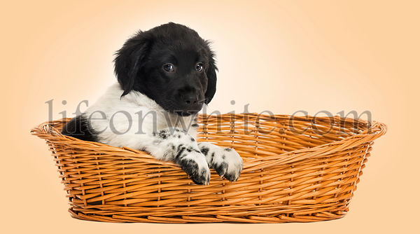 Stabyhoun puppy in a wicker basket, looking at the camera