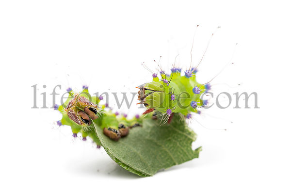 Caterpillar of the Giant Peacock Moth eating leaf, Saturnia pyri, against white background