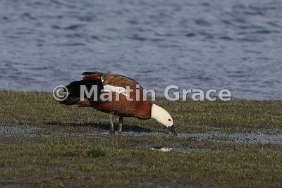 Female Paradise Shelduck (Tadorna variegata), Otaki Beach, North Island, New Zealand
