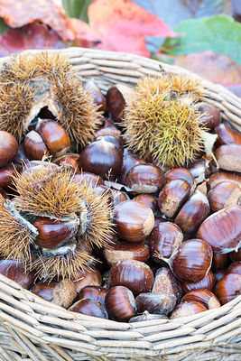 Castanea sativa -Harvesting chestnuts in a wicker basket-France, autumn