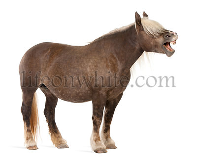 Comtois horse, a draft horse, Equus caballus, 10 years old, standing with mouth open in front of white background