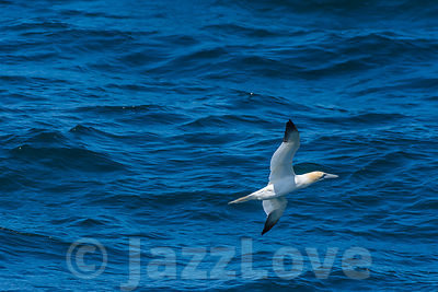 Gannet flying low over blue, wavy sea surface.