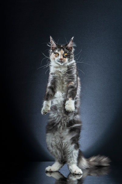 STANDING CATS - OYANA