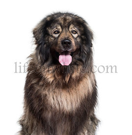 Sarplaninac dog panting and looking at camera against white background
