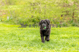 A young newfoundland dog playing with a tennis ball