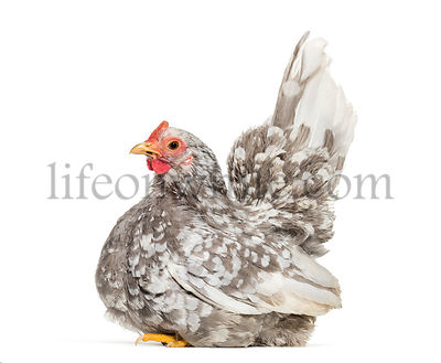 Japanese bantam or Chabo, true bantam breed, sitting against white background