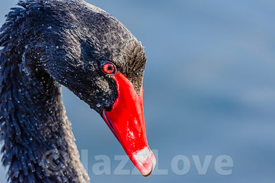 Black swan portrait
