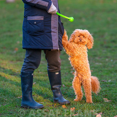 Poodle with trainer