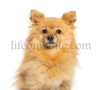 Headshot of a Pomeranian looking away, isolated on white