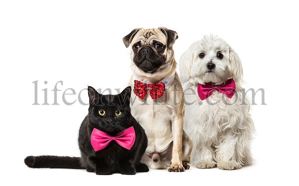 Mixed-breed cat, Pug in red bow tie sitting, Maltese dog, in front of white background